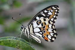 a macro photography of a really beautiful and really hard to get captured spesies of butterfly, with amazing details on its wings.