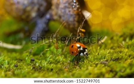 A macro picture of a ladybug crawling on the moss among the acorns