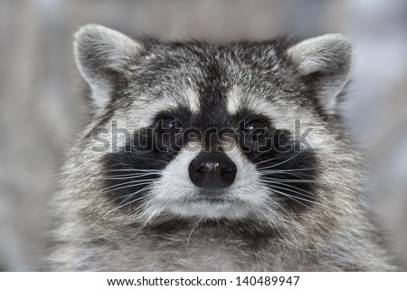 A macro portrait of a raccoon with wet black nose.