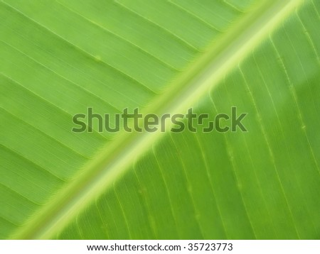 a macro shot of a banana leaf which is great as a background image for banana or ecology related projects.