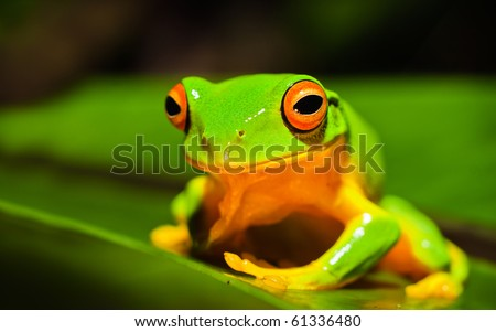 A macro shot of a beautiful Australian Orange thighed Tree frog, Litoria xanthomera, sitting on a leaf.