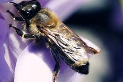 A macro shot of a bee landed on a petal of a purple flower on a blurry background