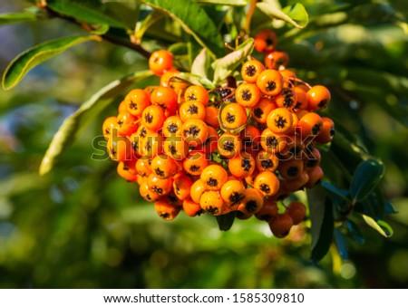 A macro shot of a cluster of orange pyracantha bush berries.