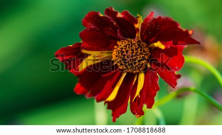 Photo of  A macro shot of a coreopsis roulette bloom.