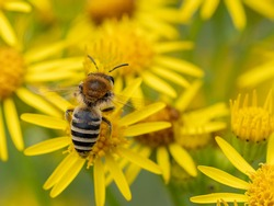 A macro shot of a female plasterer bee (Colletes sp.) seen nectaring on ragwort flowers in July.