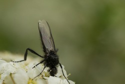 A macro shot of a hawthorn fly or March fly (Bibio marci) crawling over the blossoms of a spirea brush and sucking nectar with its wings folded and its head lowered. The background is a green space.
