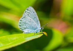 A macro shot of a holly blue butterfly sitting on a green leaf.