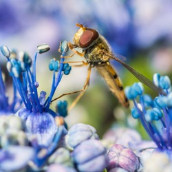A macro shot of a hoverfly collecting pollen from a hydrangea bloom.