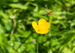 A macro shot of a hoverfly hovering next to a buttercup.