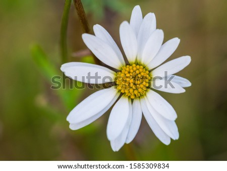 A macro shot of a late flowering oxeye daisy.