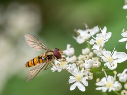 A macro shot of a marmalade hoverfly (Episyrphus balteatus) seen in July