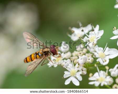 A macro shot of a marmalade hoverfly (Episyrphus balteatus) seen in July Stockfoto ©