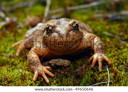 A macro shot of a  Midwife Toad in Spain - stock photo