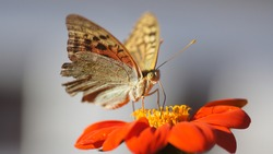A macro shot of a Polaris fritillary perched on a bright orange flower