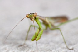 A macro shot of a praying mantis, otherwise known as a Mantodea or mantid. There are over 1800 different species of of these around the world.