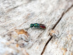 A macro shot of a ruby-tailed cuckoo wasp (Chrysididae sp.) seen searching for the nest holes of other solitary bees or wasps in which to lay its eggs.