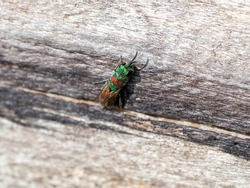 A macro shot of a ruby-tailed cuckoo wasp (Chrysis ignita agg.) seen searching for the nest holes of other solitary bees or wasps in which to lay its eggs.