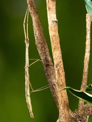 A macro shot of a stick insect (Carausius morosus) photographed against a green background in a studio set.