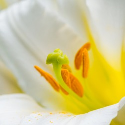 A macro shot of a white regal lily bloom.