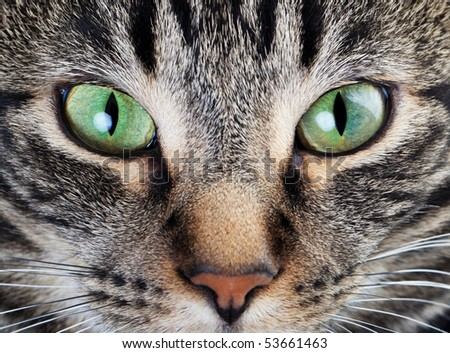 A macro shot of a young tabby cat's face.  Focus on his gorgeous green eyes!