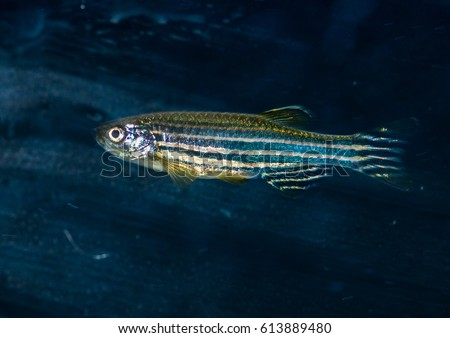 A macro shot of a zebra danio tropical fish. #613889480