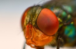 A macro shot of fly . Live housefly .Insect close-up