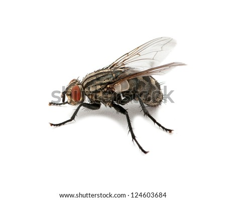 A macro shot of fly on a white
