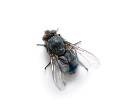 A macro shot of  fly on a white background
