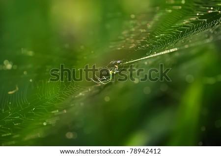 a Macro shot of Golden silk orb-weaver spider (banana spider) (Nephila spp.)