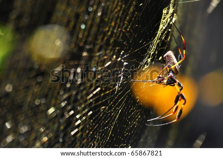a macro shot of golden silk orb-weaver spider (Nephila clavipes) over their web