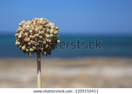 a macro shot of lonely round flower with small ball shaped buds and petals isolated by bokeh on blurred out dark blue sea, yellow sand beach and light blue sky background #1209550411