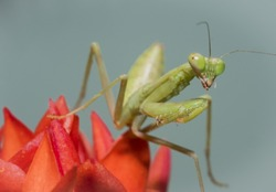 A Macro Shot of Praying Mantis looking right on Red Flower Nature Background