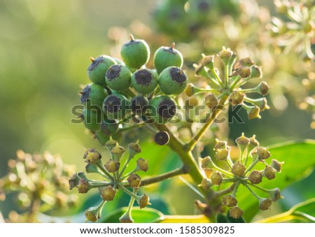 A macro shot of some common ivy berries forming.