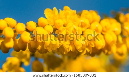 A macro shot of the bright yellow blooms of a mahonia japonica bush.