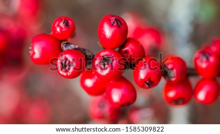 A macro shot of the red berries of a cotoneaster bush.