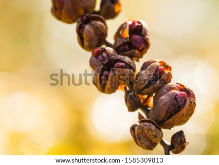 A macro shot of the seed capsules of a crocosmia plant.