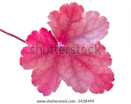A magenta leaf isolated on a white background