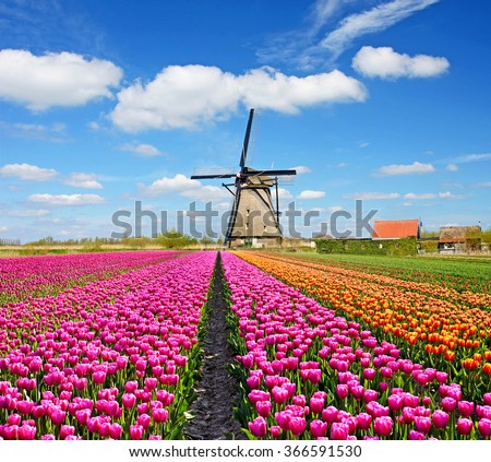 A magical landscape of tulips and windmills in the Netherlands. (Relaxation, meditation, anti-stress - concept)