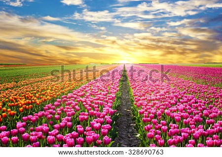stock photo a magical landscape with sunrise over tulip field in the netherlands 328690763 - Каталог - 3d фотообои