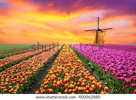 A magical landscape with sunrise over tulip field in the Netherlands (relaxation, meditation, stress management - concept) Stock foto ©