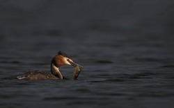A magnificent crested duck with a caught fish in its beak swims on the dark water surface