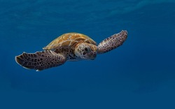 A magnificent giant golden sea turtle spreads its paws and swims in the blue depths of the sea
