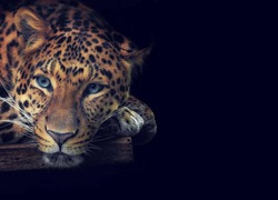 A magnificent golden leopard with blue intelligent eyes lies on a wooden platform close-up on a black background