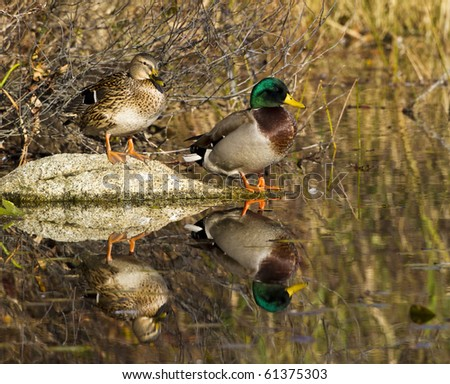 A magnificent mallard male and female pair pose for the perfect reflection on Niles pond, Gloucester, Massachusetts.