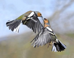 A magnificent pair of finches in the air touch each other with their beaks