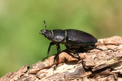 A magnificent rare female Stag Beetle, Lucanus cervus, walking over a dead log in woodland.