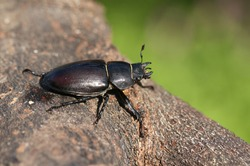 A magnificent rare female Stag Beetle, Lucanus cervus, walking over a dead log in woodland in the UK.