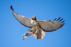 A magnificent red tail hawk taking off with its fresh kill, a squirrel, grasped firmly in its talons.  This hawk is often called a chicken hawk.