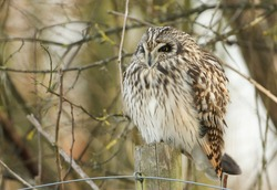 A magnificent wild hunting Short-eared Owl, Asio flammeus, perching on a fence post at the edge of grassland on a cold winters day in the UK.