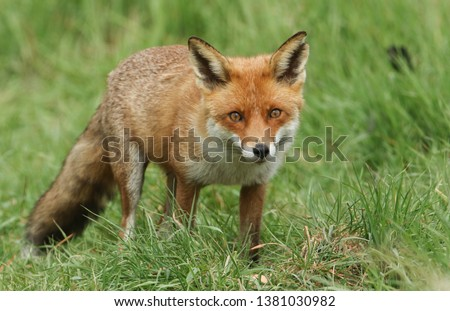 A magnificent wild Red Fox (Vulpes vulpes) hunting for food to eat in the long grass.